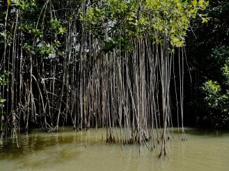 Drzewa mangrove